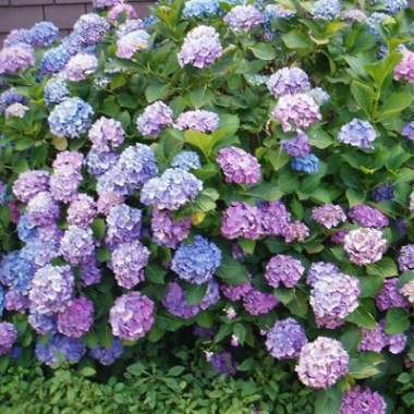 Гортензія Nikko Blue фото цена