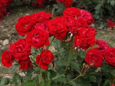 Троянда Nina Weibull описание