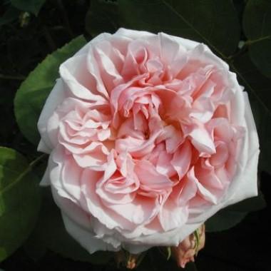 Троянда St. Swithun описание