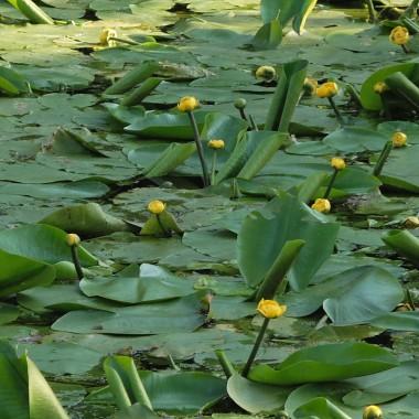 Водяні рослини