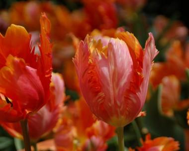 Тюльпан Orange Favourite описание