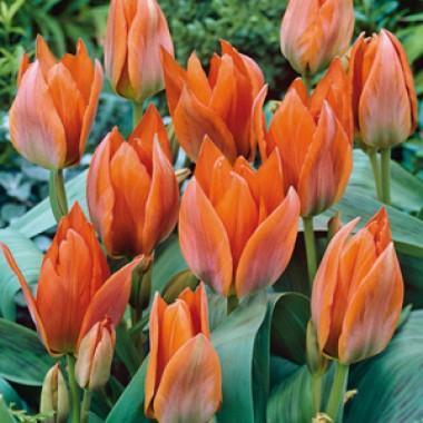 Тюльпан Orange Toronto купить онлайн