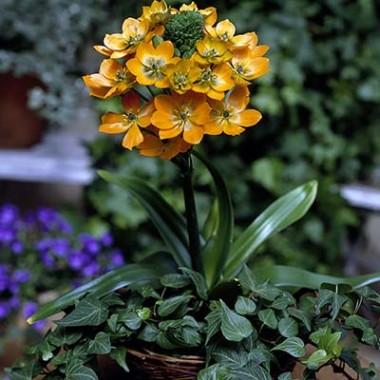 Орнітогалум Dubium Oranje фото