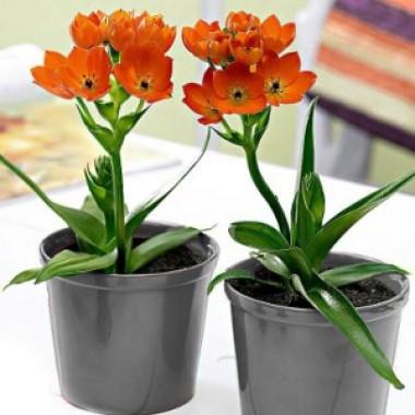 Орнітогалум Dubium Oranje описание