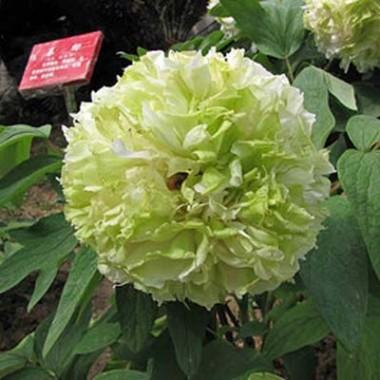 Півонія Spring Willow Chun Liu деревовидна смотреть