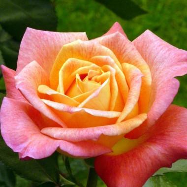 Троянда Parfum de Grasse описание