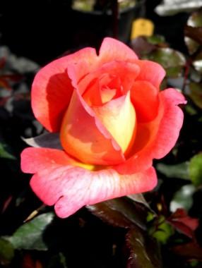 Троянда Parfum de Grasse фото цена
