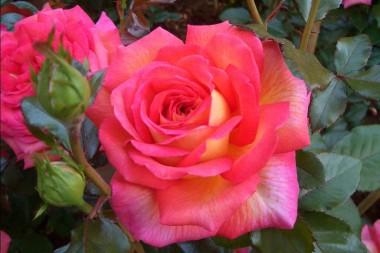 Троянда Parfum de Grasse интернет-магазин