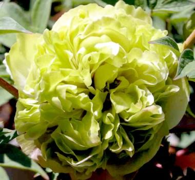 Півонія Pea Green Dou Lu деревовидна  фото цена