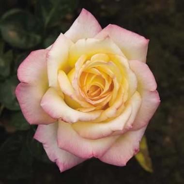 Троянда Peace (Gloria Dei) интернет-магазин