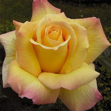 Троянда Peace (Gloria Dei) в киеве