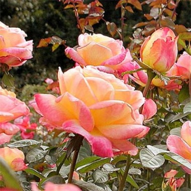 Троянда Peace (Gloria Dei) фото цена