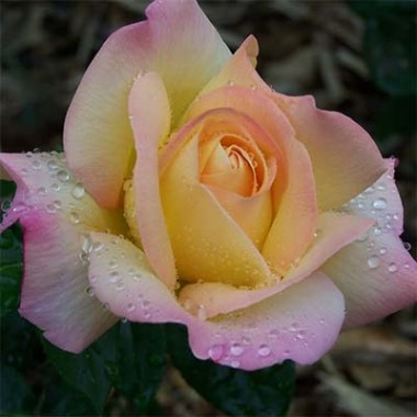 Троянда Peace (Gloria Dei) купить онлайн