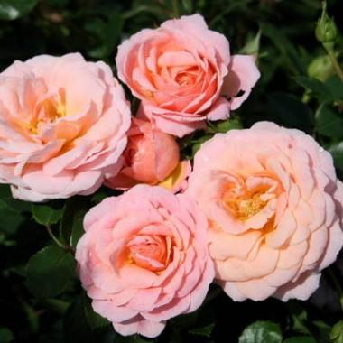 Троянда Peach Clementine купить онлайн
