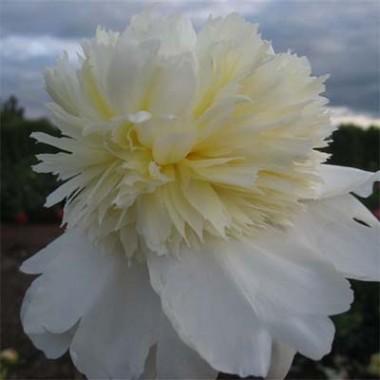 Півонія Charle's White фото цена