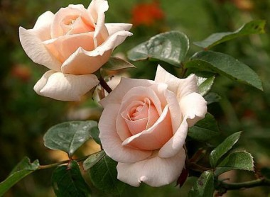 Троянда плетиста Penny Lane  в киеве