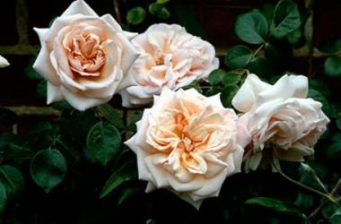 Троянда плетиста Penny Lane  интернет-магазин