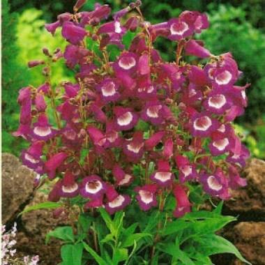 Пенстемон Purple Passion фото