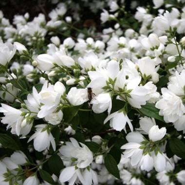 Чубушник Bouquet Blanc фото цена