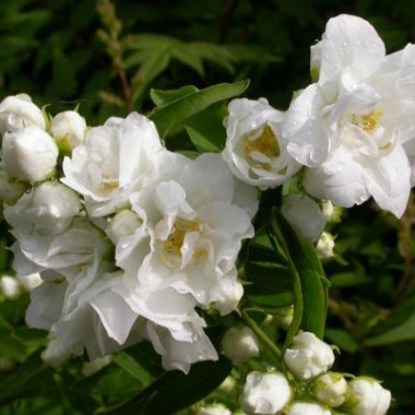 Чубушник Bouquet Blanc интернет-магазин