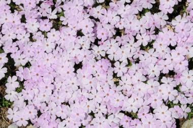 Флокс Lilac cloud купить онлайн