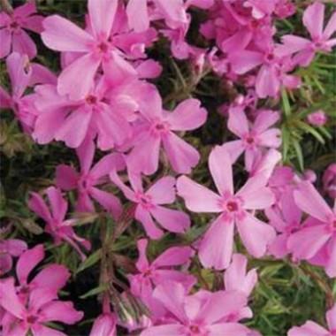 Флокс Early Spring Light Pink фото цена