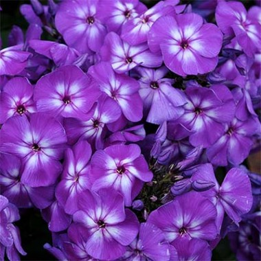 Флокс Purple Kiss фото цена
