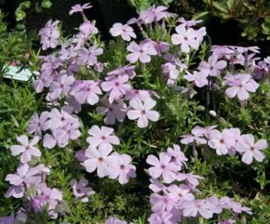Флокс Lilac cloud фото