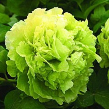 Півонія Green Jade Lu Mu Ying Yu деревовидна фото цена