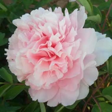 Півонія Пион Zhaos Pink Zhao Fen деревовидна  описание