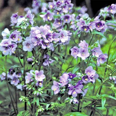Полемоніум Purple Rain смотреть