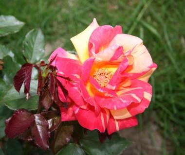 Троянда Caribia смотреть
