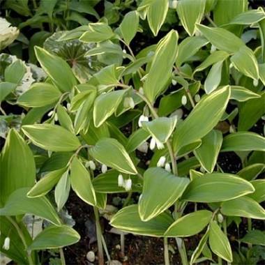 Купина серповидна Variegatum в киеве