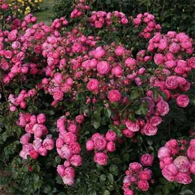 Троянда Pomponella смотреть