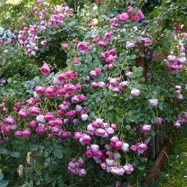 Троянда Pomponella купить онлайн