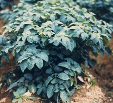 Картопля Latona фото