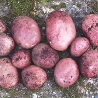 Картопля Mozart фото