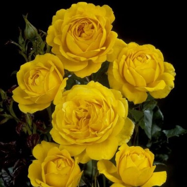Троянда Marseliesborg почтой