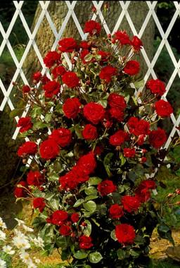 Троянда Naheglut в киеве