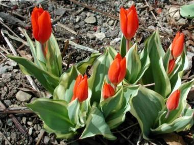 Тюльпан Praestans Unicum описание