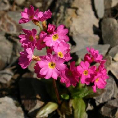 Примула Rosea Grandiflora почтой