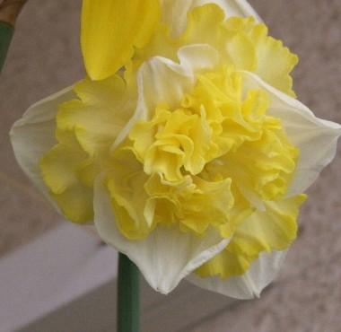 Нарциси з розсіченою коронкою