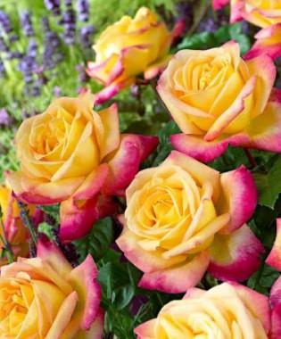 Троянда Pulman Orient Express смотреть