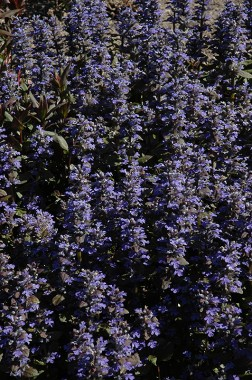 Аюга Purple Brocade почтой