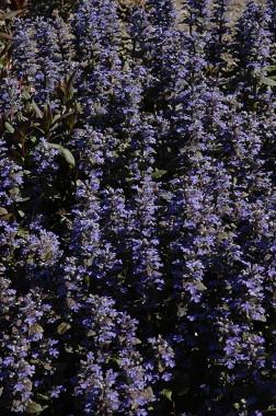 Аюга Purple Brocade купить онлайн