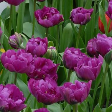Тюльпан Purple Peony смотреть