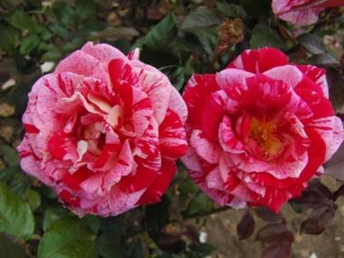 Троянда Rachel Louise Moran описание