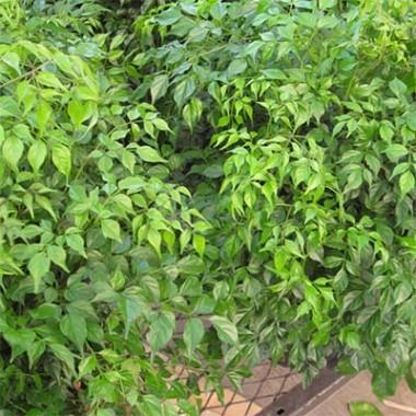 Зелені кімнатні рослини купить
