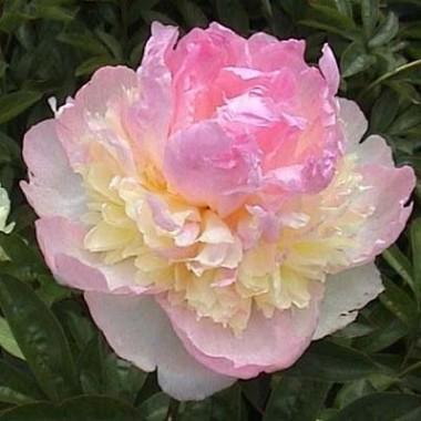 Півонія Raspberry Sundae фото