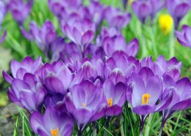 Крупноквіткові крокуси